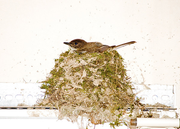 """<div class=""""jaDesc""""> <h4>Super-sized Phoebe Nest - July 9, 2008</h4> <p> 5 days after the first 5 Phoebes left the nest, the Phoebe pair started building a new nest on the other side of the garage.  This one is right on top of the door frame.  It is the tallest Phoebe nest I have ever seen. I put a protective cover over the door opener button so the nest does not get destroyed. </p> </div>"""