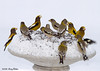 "<div class=""jaDesc""> <h4>Evening Grosbeaks at Breakfast Table - March 1, 2008 </h4> <p>When our un-heated birdbath gets covered with snow, it doubles nicely as a feeder platform.  I just toss the sunflower seed on top of the snow.   This photo was published in Birds and Blooms EXTRA, January 2009 issue -Reader's Scrapbook section, pg 63. </p> </div>"