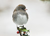 """<div class=""""jaDesc""""> <h4> Junco on Holly Stem - February 11, 2012 </h4> <p> This cute female Junco posed for me on our holly bush in front of our house.  Icy snowflakes were bouncing off her head and beak.</p> </div>"""