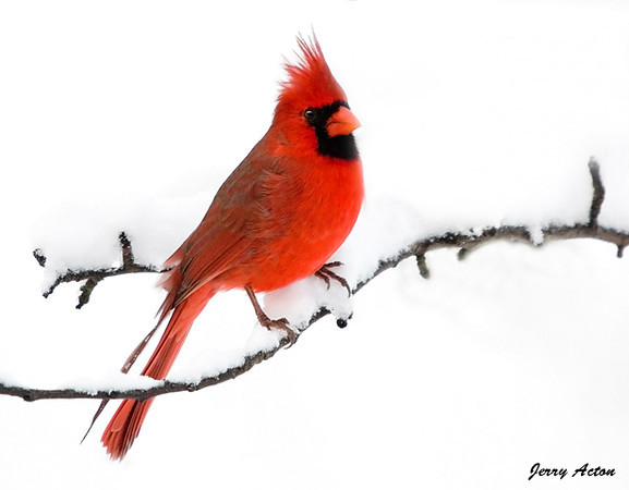 "<div class=""jaDesc""> <h4> Male Cardinal on Snowy Pear Tree Branch</h4> </div>"