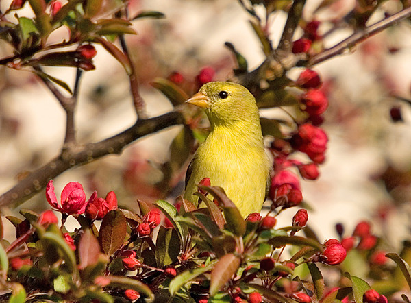 "<div class=""jaDesc""> <h4> SPRING - Female Goldfinch in Budding Crabapple Tree </h4> </div>"