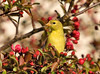 "<div class=""jaDesc""> <h4> SPRING - Female Goldfinch in Budding Crabapple Tree </h4> </div>"