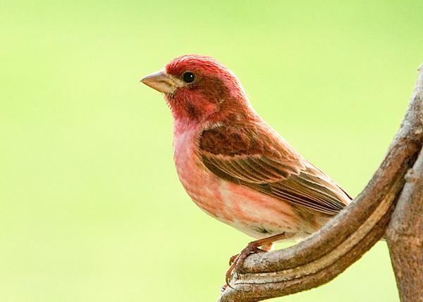 "<div class=""jaDesc""> <h4> SUMMER - Male Purple Finch Posing </h4> </div>"