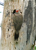 "<div class=""jaDesc""> <h4>Mom Flicker at Nest - June 23, 2008 </h4> <p>Both Flicker parents work hard to keep their 2 chicks fed.  This is mom at the nest hole arriving with bugs.</p> </div>"