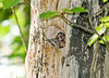 """<div class=""""jaDesc""""> <h4>2 Male Flicker Chicks in Nest - June 27, 2008 </h4> <p>These two male Flicker chicks are very close to being ready to leave the nest. </p> </div>"""