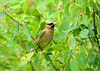"<div class=""jaDesc""> <h4> Cedar Waxwing with Serviceberry</h4> <p></p> </div>"