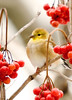 "<div class=""jaDesc""> <h4> Goldfinch in Cranberry Bush - Vertical</h4> </div>"