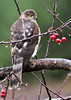 """<div class=""""jaDesc""""> <h4> Juvenile Sharp-shinned Hawk in Crabapple Tree - October 26, 2012</h4> <p>She does not eat crabapples, but it is a convenient perch tree. </p> </div>"""