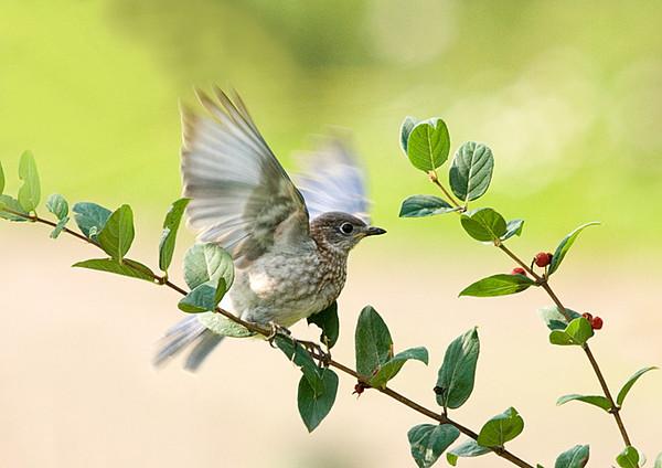 "<div class=""jaDesc""> <h4> Baby Bluebird in Honeysuckle Bush</h4> </div>"