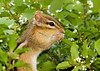 "<div class=""jaDesc""> <h4> Chipmunk in Holly Bush</h4> </div>"