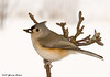 "<div class=""jaDesc""> <h4> Tufted Titmouse with Sunflower Seed</h4> </div>"