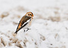 """<div class=""""jaDesc""""> <h4> Snow Bunting in Plowed Snow - January 1, 2013 </h4> <p>The flock of about 30-40 Snow Buntings were foraging in the plowed snow which had bits of roadside grass, cinders, and salt mixed in.  This guy was the brightest one in the flock.</p> </div>"""