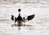 """<div class=""""jaDesc""""> <h4>Male Common Merganser Displaying Wings - April 24, 2012 </h4> <p>This male Common Merganser was showing off every few minutes for his girlfriend. The pair were paddling along the Susquehanna River near Nichols, NY.</p> </div>"""