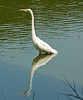 "<div class=""jaDesc""> <h4> Great Egret Patiently Waiting - August 2006 </h4> </div>"
