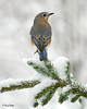 "<div class=""jaDesc""> <h4> Female Bluebird on Snowy Evergreen Branch </h4> </div>"