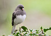 """<div class=""""jaDesc""""> <h4> Junco in Rain - November 3 2012 </h4> <p> This Junco stopped on a holly bush on his way into the feeder tray.  When it starts raining, we get a sudden influx of birds looking for a quick meal.</p> </div>"""