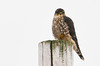 """<div class=""""jaDesc""""> <h4> Female Merlin Resting on Utility Pole - January 31, 2012</h4> <p> While driving around Amherst Island, Ontario, we saw this female Merlin resting on the top of a Utility pole.</p> </div>"""