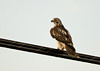 """<div class=""""jaDesc""""> <h4> Immature Red-tailed Hawk on Utility Wires - November 15, 2012 </h4> <p> The tail feathers on an immature Red-tailed Hawk are barred and not yet red.  When I first took this photo, I was unsure what type of hawk this was.</p> </div>"""