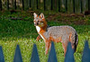 """<div class=""""jaDesc""""> <h4>Gray Fox in Sunny Backyard - April 14, 2012 </h4> <p>While staying at my daughter's house in Virginia Beach, VA, we saw a Gray Fox in several of the neighbor's yards over a 3 day period. The last day we were there, he came wandering through her front yard and into her next door neighbor's sunny yard. When he heard the click of my camera, he turned his head to see where the noise was coming from. I suspect the vixen is in the den nursing kits and he is out hunting food for her.</p> </div>"""
