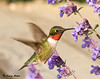 "<div class=""jaDesc""> <h4>Hummingbird at Catmint #1</h4> <p> </p> </div>"