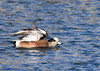 """<div class=""""jaDesc""""> <h4>Male American Wigeon Gets Territorial - February 20, 2012 </h4> <p>This male American Wigeon was warning a nearby Mallard to keep his distance at Stewart Park in Ithaca, NY.</p> </div>"""