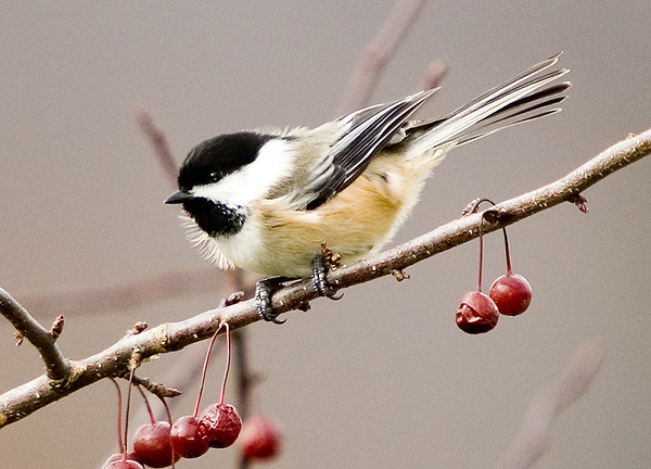 "<div class=""jaDesc""> <h4> Chickadee in Crabapple Tree</h4> <p></p> </div>"