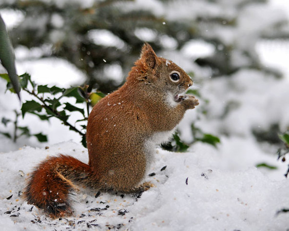 """<div class=""""jaDesc""""> <h4>Red Squirrel in Snow - January 9, 2011 - Video Attached </h4> <p>  Our Red Squirrel visited yesterday when the sun was just right to really show off his reddish coloring.</p> </div> <center> <a href=""""http://www.youtube.com/watch?v=rUXKyLYOKHM""""  style=""""color: #0000FF"""" class=""""lightbox""""><strong> Play Video</strong></a>"""