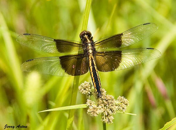 "<div class=""jaDesc""> <h4> Female Widow Skimmer Dragonfly on Stalk - November 2006 </h4> <p>  </p> </div>"