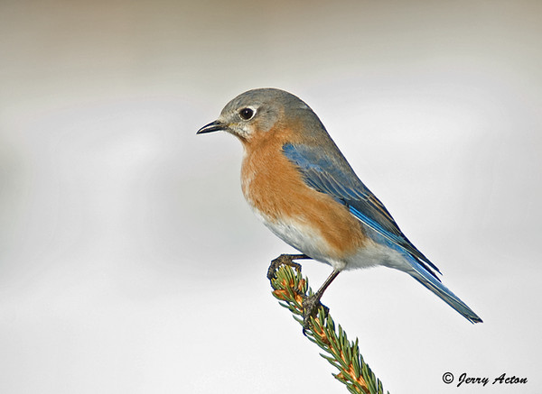 "<div class=""jaDesc""> <h4> Female Bluebird on Evergreen Perch</h4> </div>"