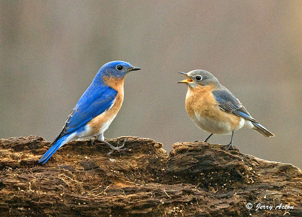 """<div class=""""jaDesc""""> <h4> Female Bluebird Saying Thanks - April 11, 2009 </h4> <p> After receiving a double mealworm pass, it looked like the female was saying thank you.</p> </div>"""