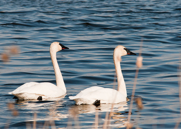 """<div class=""""jaDesc""""> <h4> Trumpeter Swans Paddling - April 5, 2013</h4> <p>The pair of Trumpeter Swans had finished dabbling among the cattails.  They then began paddling out into the open water and began honking loudly. </p> </div>"""