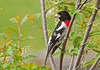 """<div class=""""jaDesc""""> <h4> First Male Rose-breasted Grosbeak Arrives - May 6, 2012 </h4> <p>Our first male Rose-breasted Grosbeak showed up on April 26th.  Within 3 days we were up to four males, all anticipating the arrival of the females.</p> </div>"""