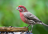 """<div class=""""jaDesc""""> <h4>Male House Finch Dining - November 5, 2012 </h4> <p> A family of 4 House Finches has been around for about 2 weeks.  This morning I caught this male at the breakfast bar.</p> </div>"""
