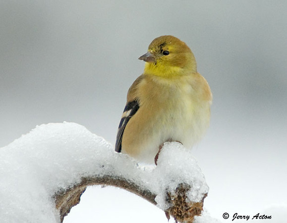 "<div class=""jaDesc""> <h4> Winter Plumage Goldfinch on Snowy Sunflower Stem </h4> </div>"
