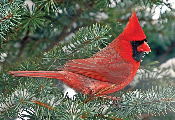 "<div class=""jaDesc""> <h4> Male Cardinal in Blue Spruce Tree </h4> </div>"