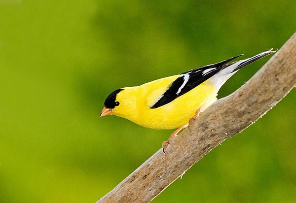 "<div class=""jaDesc""> <h4> SPRING - Male Goldfinch in Breeding Plumage </h4> </div>"