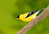 "<div class=""jaDesc""> <h4> SPRING - Male Goldfinch in Breeding Plumage </h4> </div>"