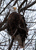 "<div class=""jaDesc""> <h4> Bald Eagle Eyes Front - January 24, 2010 - Video Attached</h4> <p>  I was able to take a short video of the Bald Eagle perched in a tree.  The wind was blowing and my truck was vibrating, so I apologize for the video jitter.</p> </div> </br> <center> <a href=""http://www.youtube.com/watch?v=v2fzGKCDDyg "" class=""lightbox""><img src=""http://d577165.u292.s-gohost.net/images/stories/video_thumb.jpg"" alt=""""/></a> </center>"