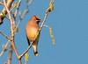 """<div class=""""jaDesc""""> <h4> Cedar Waxwing in Afternoon Sun - April 2, 2012</h4> <p> A flock of 30 Cedar Waxwings landed in a poplar tree across the road from our house.  Their breasts were glowing in the late afternoon sun.</p> </div>"""