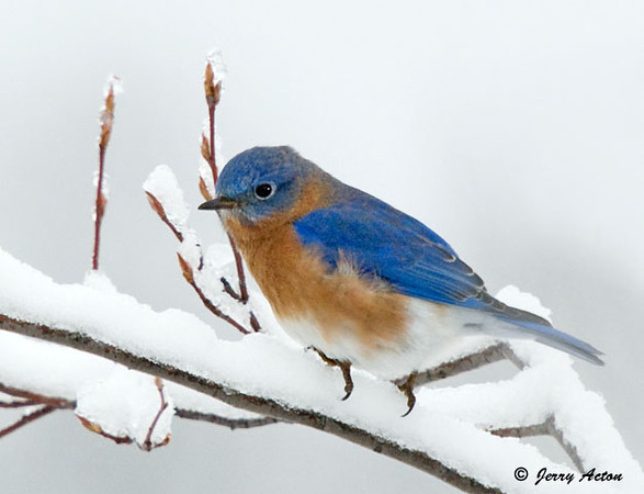 "<div class=""jaDesc""> <h4> Male Bluebird on Snowy Limb </h4> </div>"