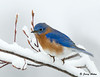 "<div class=""jaDesc""> <h4> Male Bluebird on Snowy Limb </h4> </div>"