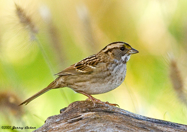 "<div class=""jaDesc""> <h4>White-throated Sparrow - Side View - October 30, 2007 </h4> <p>Here is a side view of the White-throated Sparrow.  It had just chased away a couple of Juncos and a Chickadee to have the seed bar to itself for a moment.</p> </div>"