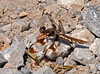 """<div class=""""jaDesc""""> <h4> Female Common Whitetail Dragonfly - June 18, 2010 </h4> <p>   This female Common Whitetail dragonfly was sunning herself on a gravel patch. Females lay their eggs while flying by tapping the tip of their abdomen on the surface of water. I saw her doing this a few minutes after I took this photo. Her motion was way too fast for me to get a shot of that behavior.</p> </div>"""
