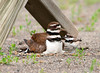 """<div class=""""jaDesc""""> <h4> Killdeer Chicks with Mom - June 13, 2011 </h4> <p> Every few minutes, the Killdeer chicks would pop out from under mom and rearrange themselves underneath her again.  In this shot one is to the right, one is behind to the left and the other 2 are tucked under each side of her breast feathers.  </p> </div>"""