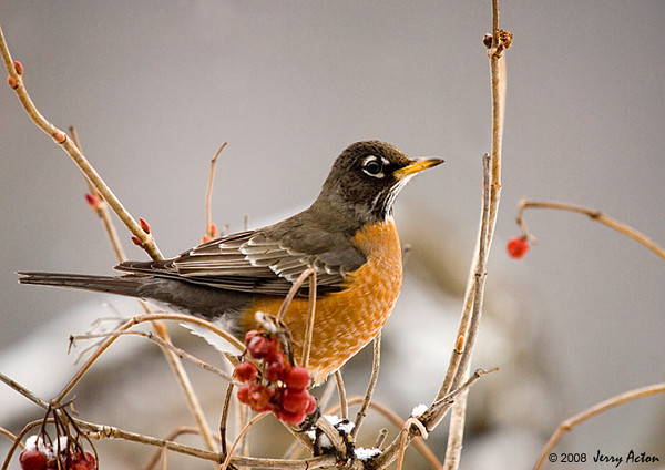 "<div class=""jaDesc""> <h4> Robin in Cranberry Bush</h4> </div>"