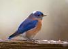 "<div class=""jaDesc""> <h4> Male Bluebird with Snowflake Cap</h4> </div>"