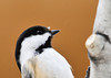 """<div class=""""jaDesc""""> <h4>Chickadee with Snowflake Above Beak - February 10, 2013 </h4> <p> A snowflake landed on this Chickadee.  As speedy as they are, I am sure it wasn't attached for long.</p> </div>"""
