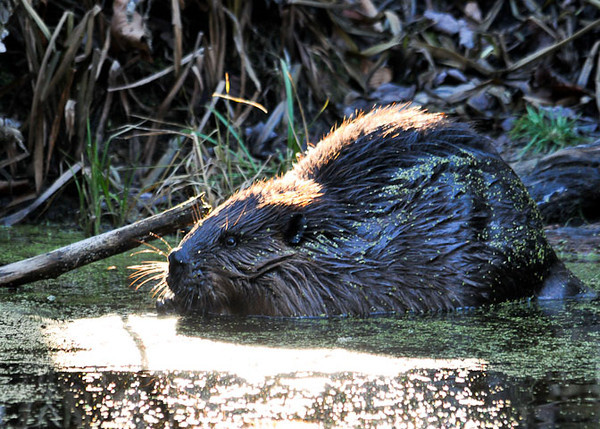 """<div class=""""jaDesc""""> <h4> Beaver Foraging in Bog - November 14, 2012 - Video Attached </h4> <p> When I first arrived at the property where the beaver was located, the owner directed my to the bog area in the woods.  I was delighted to see a large Beaver crawling down a bank and scooting into the water.  He then began foraging on the green plant matter floating on the surface.</p> </div> </br> <center> <a href=""""http://www.youtube.com/watch?v=OA4h_xmD8wI"""" class=""""lightbox""""><img src=""""http://d577165.u292.s-gohost.net/images/stories/video_thumb.jpg"""" alt=""""""""/></a> </center>"""