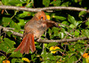"""<div class=""""jaDesc""""> <h4>Immature Female Cardinal Grooming - September 9, 2012 </h4> <p>I saw this immature female Cardinal grooming in the sunshine while I was out for a morning walk at my in-laws residence in Media, PA. </p> </div>"""