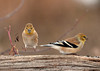 "<div class=""jaDesc""> <h4> Goldfinch Arriving - February 6, 2010</h4> <p> I was surprised to see 4 Goldfinches yesterday afternoon after seeing only 2 so far this winter.  They were enjoying the niger and sunflower seed that I sprinkle around at several feeder logs.</p> </div>"